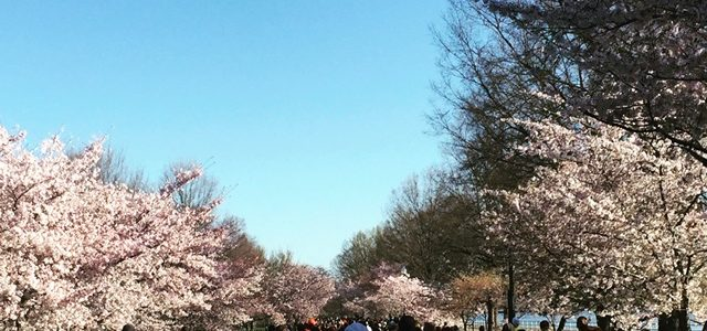 Review of the 2017 Cherry Blossom 10 Miler